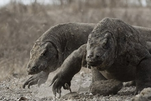 4 Days Private Komodo Island Tour