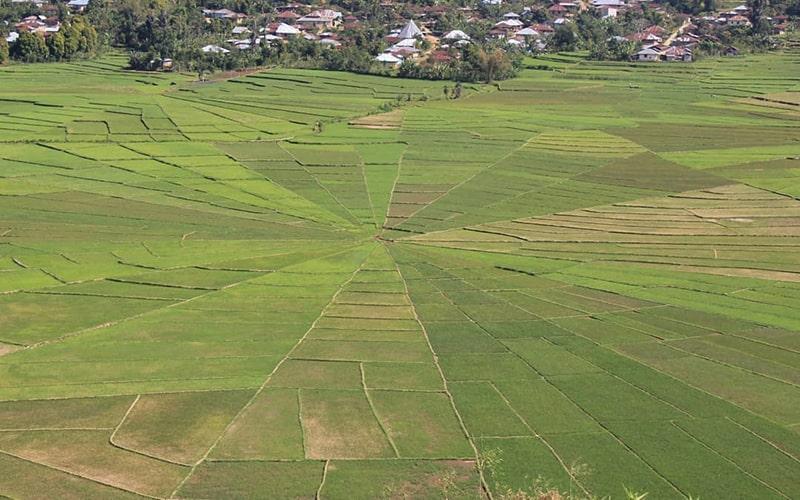 Sprider Web Rice Field, Ruteng Flores